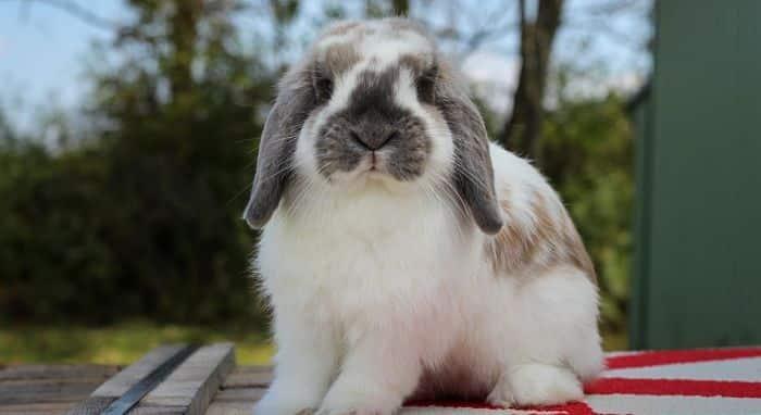 conejos-holland-lop-3