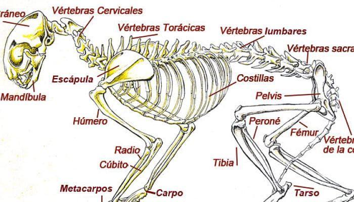 Los Gatos Tienen más Huesos Que Los Humanos ? Anatomía Felina