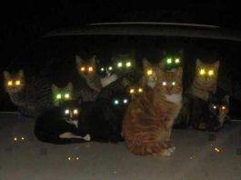 porque brillan los ojos de los gatos