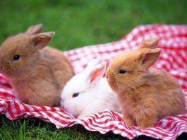cuidados de los conejos enanos