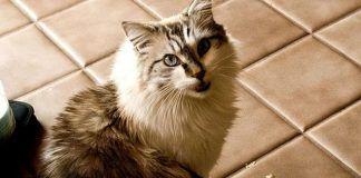 creatinina en gatos