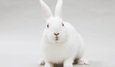 Conejo de Nueva Zelanda