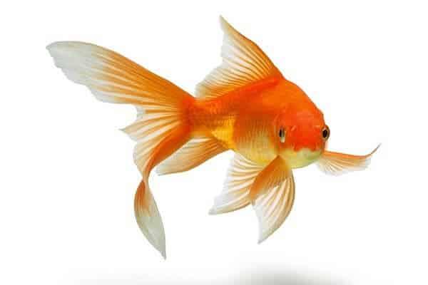 Peces para principiantes agua fr a o climatizada qu for Peces de agua fria para acuarios pequenos