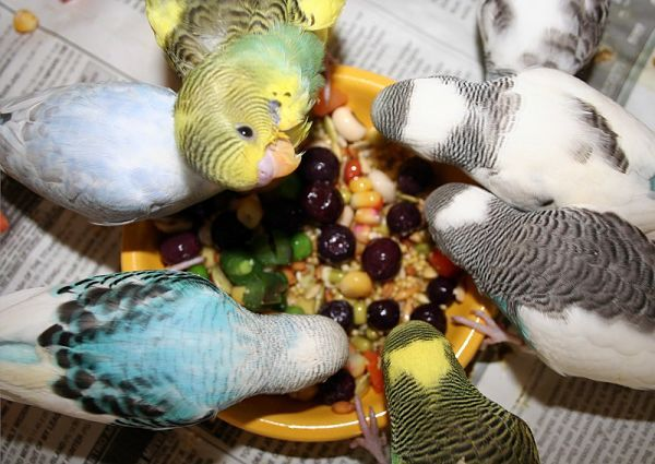 Resultado de imagen para periquitos alimentacion
