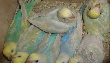cómo cuidar periquitos recién nacidos