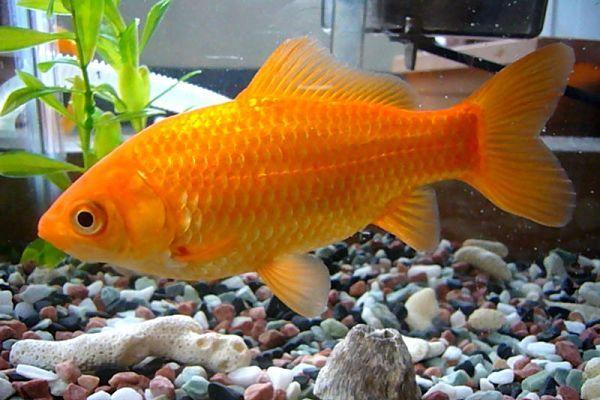 Peces goldfish historia tipos y cuidados para este pez for Cuidado de peces