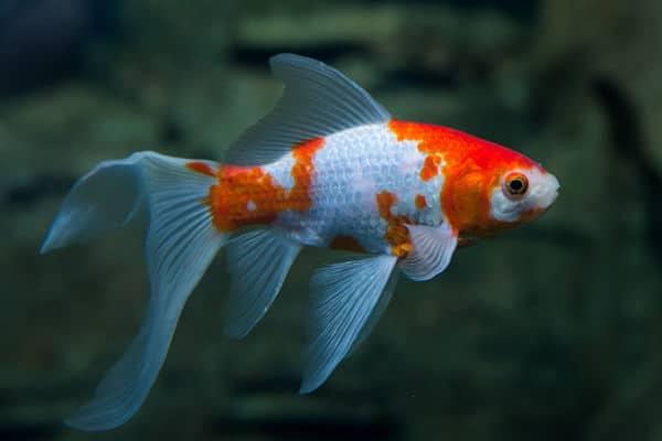 peces goldfish historia tipos y cuidados para este pez
