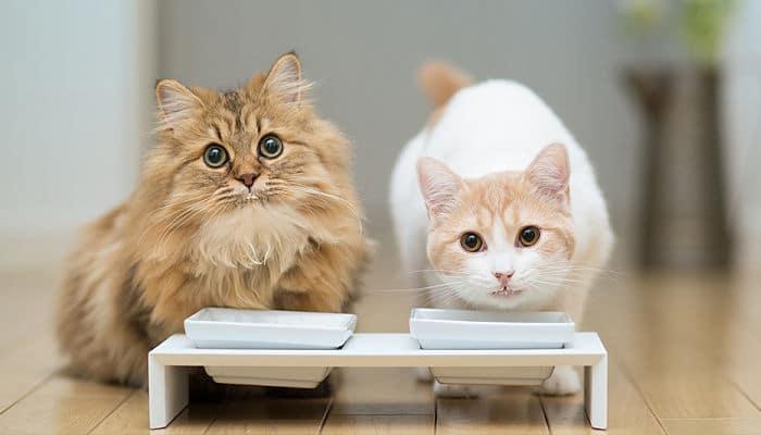 la hidratación en los gatos es de vital importancia