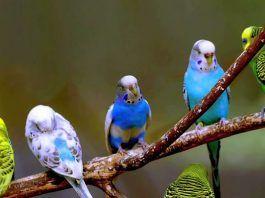 sonidos de los periquitos