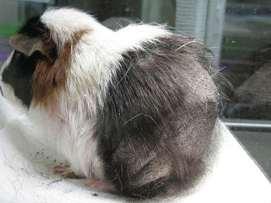 pérdida de pelo en cobayas