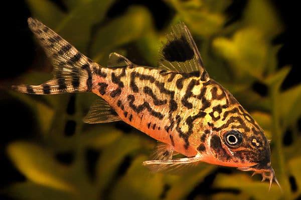 Los 10 tipos de peces tropicales para principiantes for Especies de peces