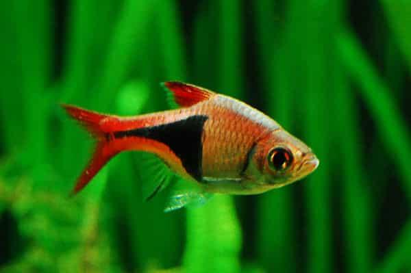 Los 10 tipos de peces tropicales para principiantes for Peces para acuarios pequenos