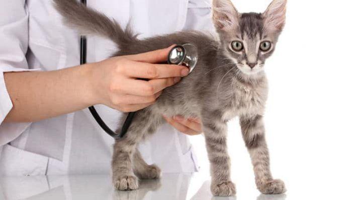 frecuencia cardíaca en gatos