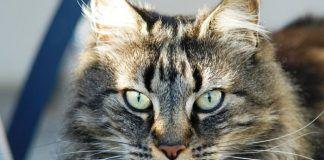 obstrucción intestinal en gatos