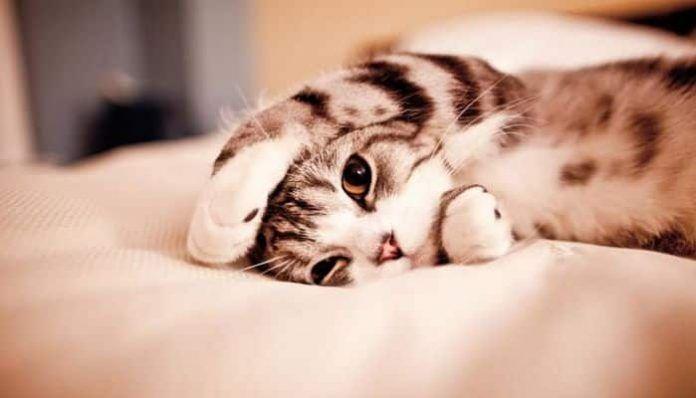 porque los gatos se orinan en la cama
