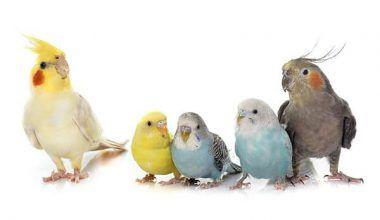 que aves pueden convivir con los periquitos