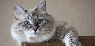 cestodos en gatos