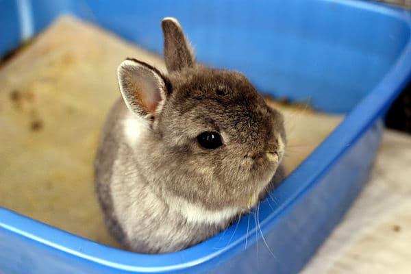 entrenar a un conejo para usar la caja de arena
