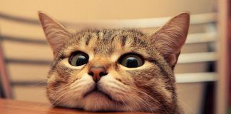 hematuria en gatos
