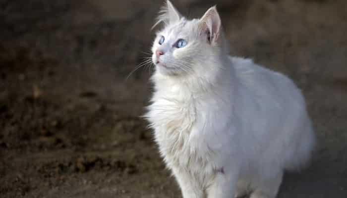 leptospirosis en gatos
