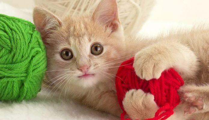 panleucopenia en gatos
