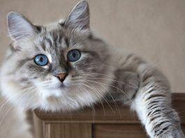 síndrome de horner en gatos