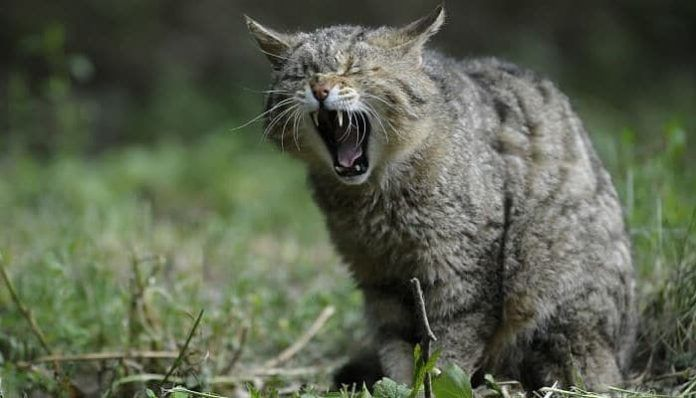 urolitiasis en gatos