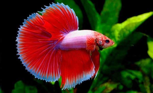 Los 10 peces m s bonitos del mundo para tener en tu acuario for Peces de colores para acuarios