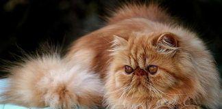 convulsiones en gatos
