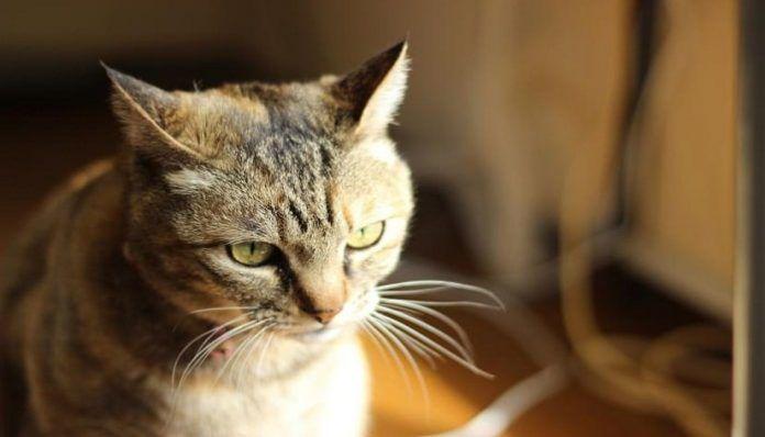 distemper en gatos