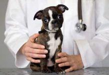 ehrlichiosis en perros