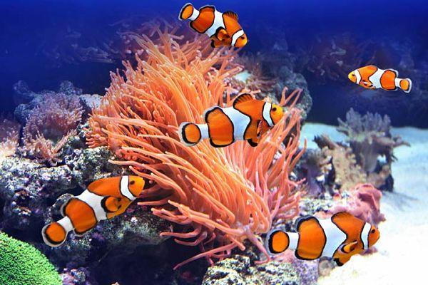 Resultado de imagen para pez payaso