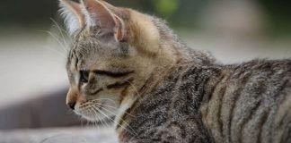 roña en gatos