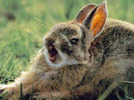 agresión en los conejos