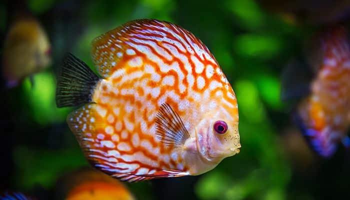 Peces de agua dulce 12 especies coloridas para tener en for Peces de agua dulce para peceras