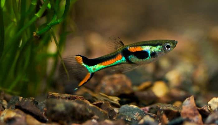 Peces de agua dulce 12 especies coloridas para tener en for Peces para acuarios pequenos