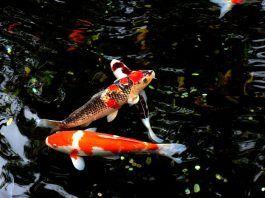 peces Koi