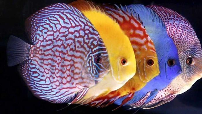 El pez disco historia caracter sticas y cuidados de for Cuidado de peces