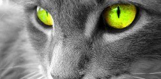 cataratas en gatos