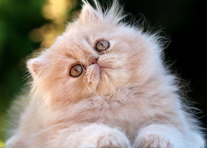 como quitar el hipo en los gatos