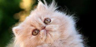 hipo en gatos