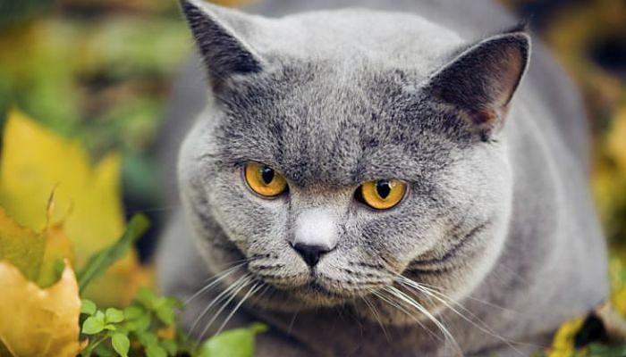 Hipo en los gatos