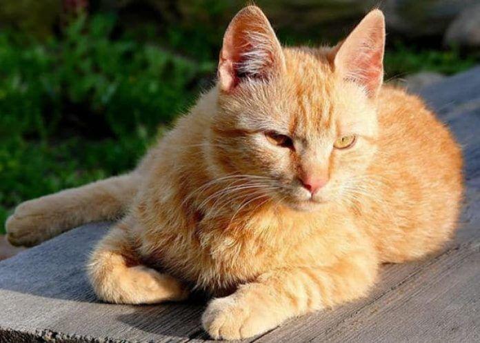 síntomas de moquillo en gatos