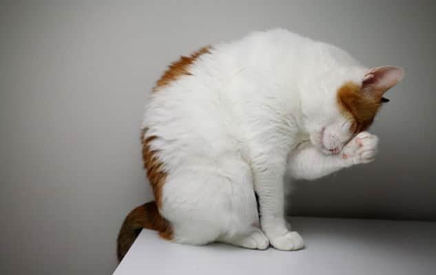 síntomas de parásitos en gatos