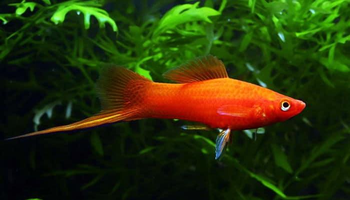 Peces cola de espada caracter sticas cuidados y enfermedades for Tanques para cria de peces