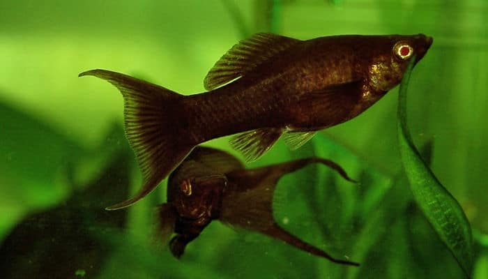 Peces molly tipos y c mo mantenerlos en tu acuario for Clases de peces de acuario