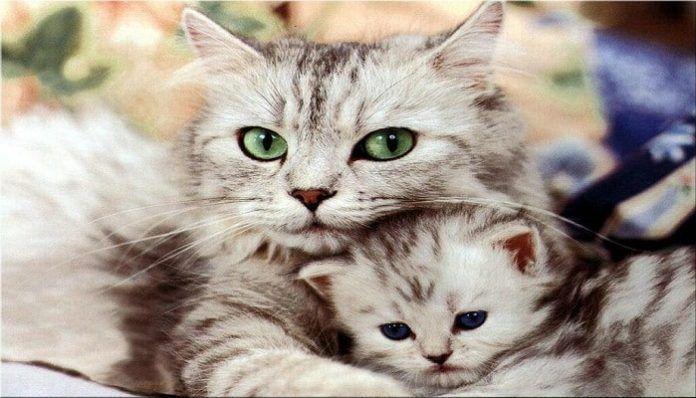 mastitis en gatos
