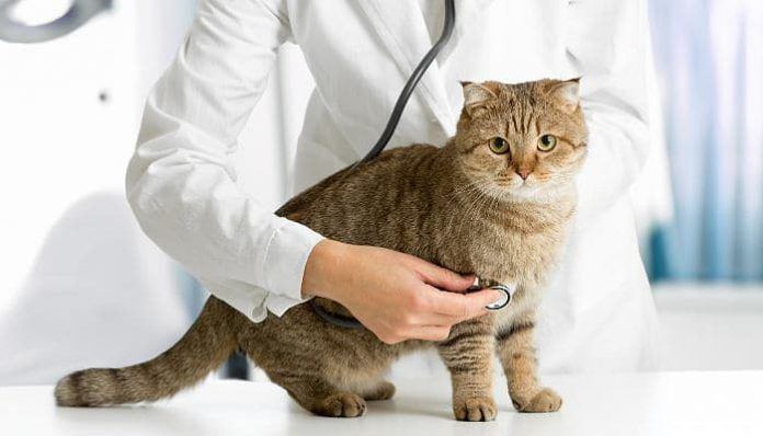 síndrome vestibular en gatos