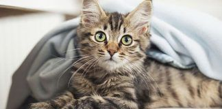 bronquitis en gatos