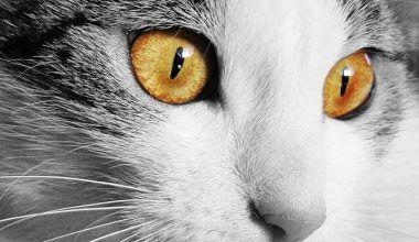 queratitis en gatos